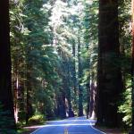 Blog Avenue of Giants 7
